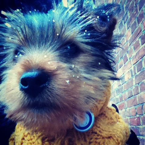 George, the Yorkie Puppy in the Snow