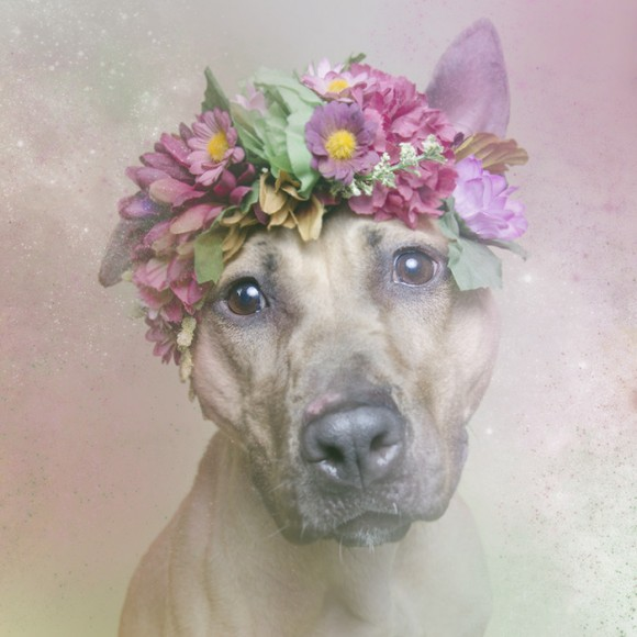 Flower Power Pit Bulls by Sophie Gamand