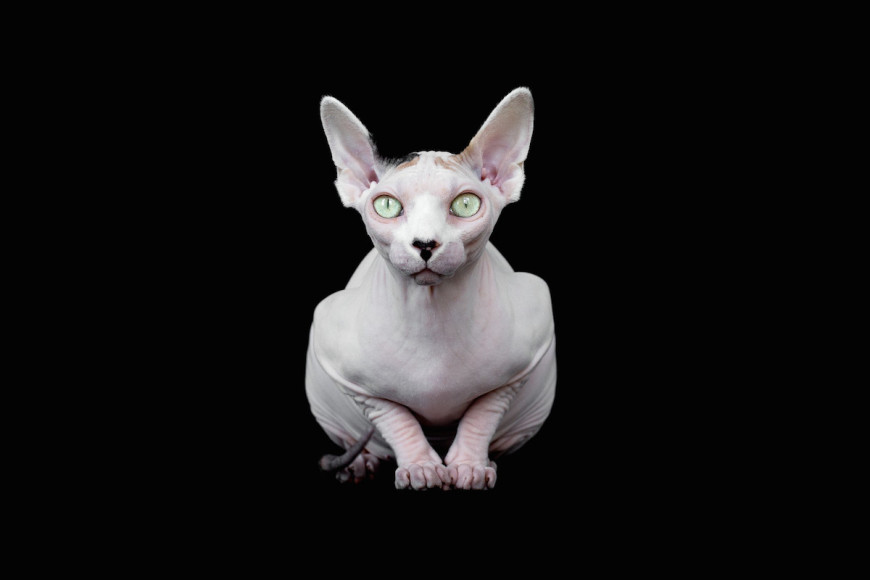 Sphynx Cats by Alicia Rius