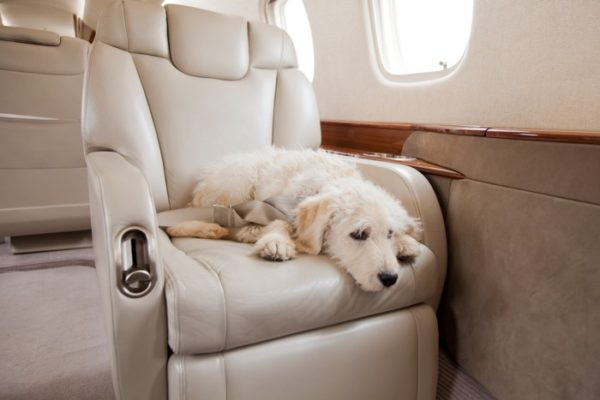 privatefly dog friendly workplace private jet
