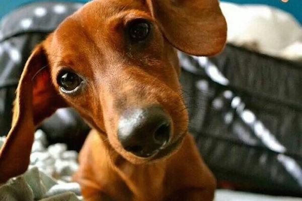 dachshund head tilt