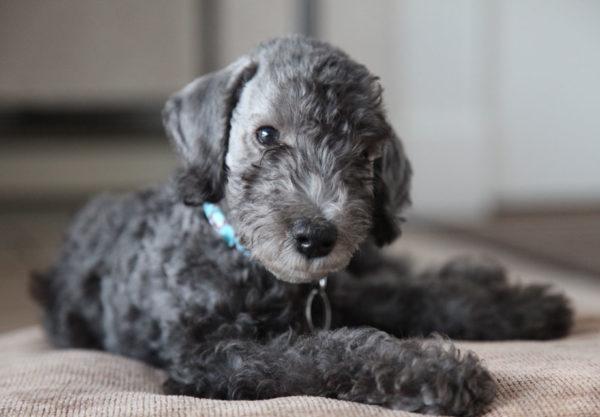 Bedlington Terrier Rarest Dog Breeds