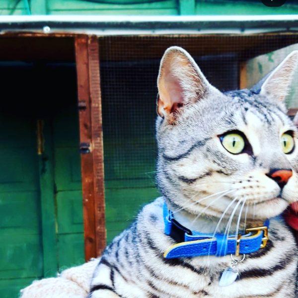 Royal caviar cat collar