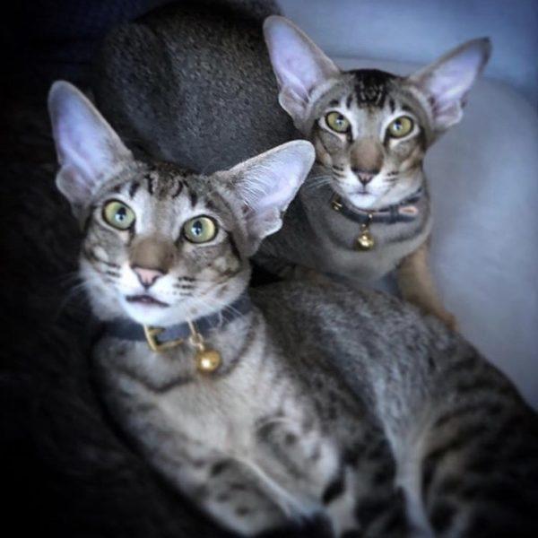 Cheshire wain blue cat collar